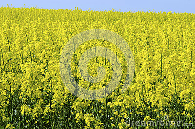Background Of Vivid Agricultural Rapeseed Field Royalty Free Stock Photography - Image: 25388327