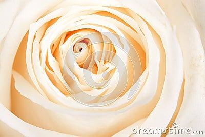 Background of white roses