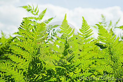 Background of wild fern