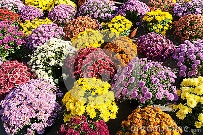 Background withcolorful potted chrysanthemums