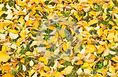 Background yellow fallen Elm leaves