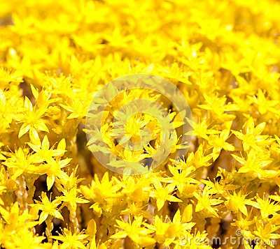 Free Background Yellow Flower Moss Royalty Free Stock Photos - 33747538