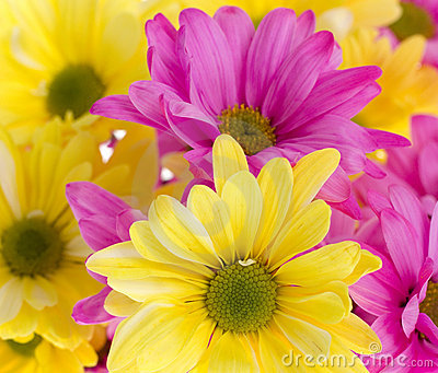 Background: Yellow and Pink Daisy Flowers
