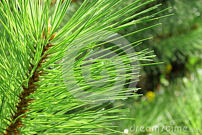 Background of young pine. Needle.