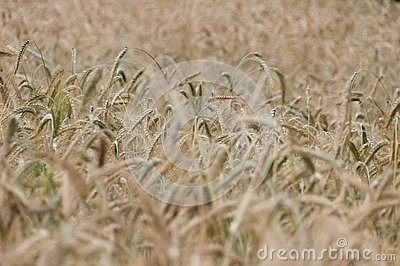 Backgroung from a wheaten field, DOF middle