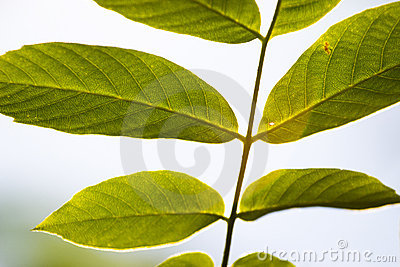 Backleaves
