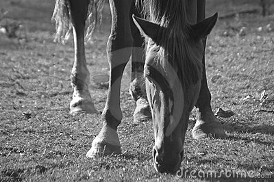 Backlighting, horse grazing BW
