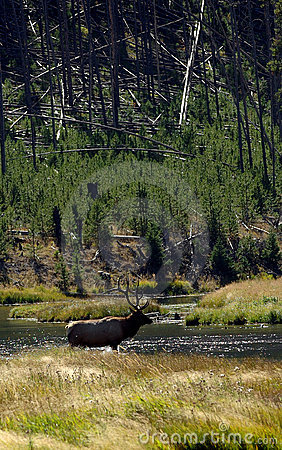 Free Backlit Bull Elk Crossing Stream Stock Photography - 282982