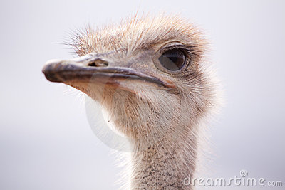 Backlit close-up side portrait of an ostrich