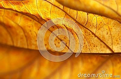 Backlit Dead Hydrangea Leaf