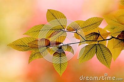 Backlit Elm Leaves