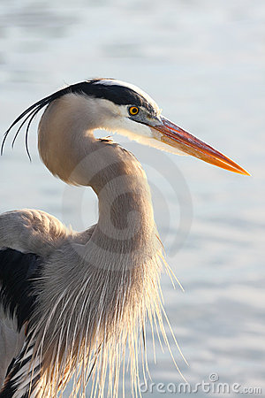 Free Backlit Great Blue Heron Stock Images - 20514924