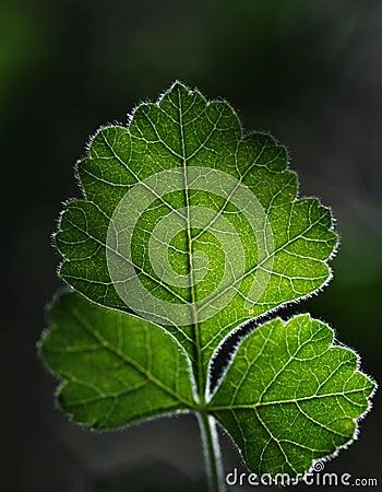 Backlit Oak Leaf