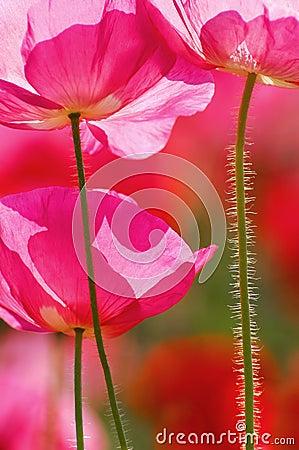 Backlit Poppy Flowers