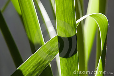 Backlit rainforest reed leaves