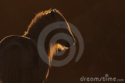 Backlit wild welsh pony