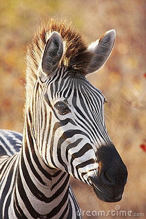 Free Backlit Zebra Portrait Royalty Free Stock Image - 8981336