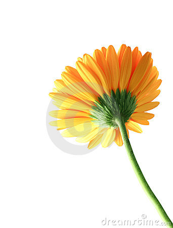 Free Backside Fo The Gerbera Stock Images - 5199314