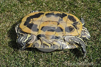 Backside of a Red-eared Turtle