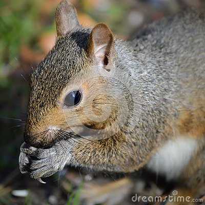 Free Backyard Squirrel Eating Seeds Out Of Hands Stock Photos - 133183903