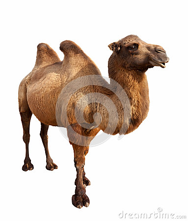Free Bactrian Camel. Isolated On White Royalty Free Stock Photos - 28929338