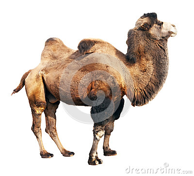 Free Bactrian Camel  Over White Background Royalty Free Stock Photo - 28929355