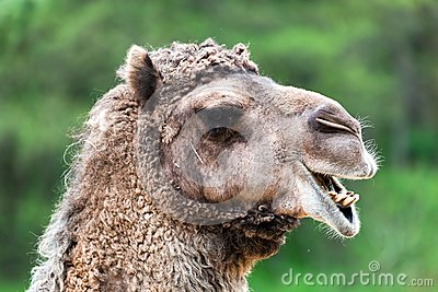 Bactrian camel portrait. Funny expression