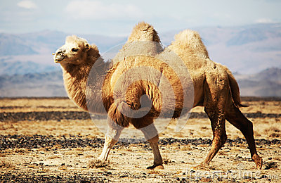 Bactrian Camel In The Steppes Of Mongolia Ro