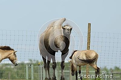 Bactriane camel