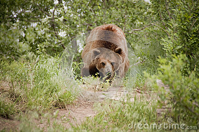Bad News Grizzly Bear Looks Mean and Hungry Along