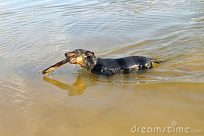 Badger-dog (dachshund) swim with stick.