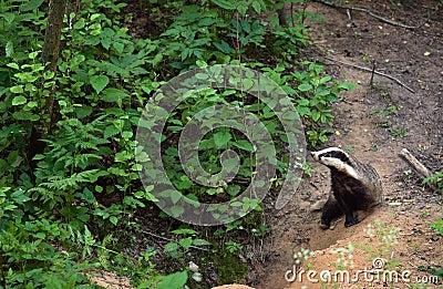 Badger at a hole.