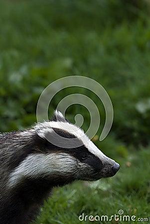 Badger sniffing