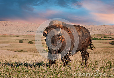 Badlands American Bison Bull