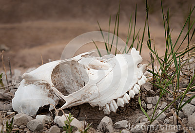 Badlands Sheep Skull