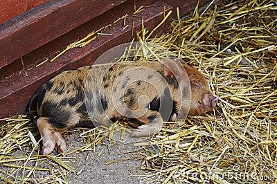 Bady Pig