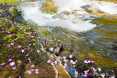 Bagulnik fallen flowers on stream Smolny