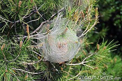 Bagworm coccoon plant disease