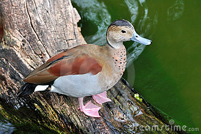 A bahama pintail on trunk