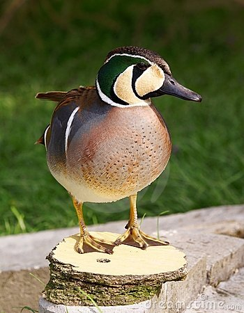 Free Baikal Teal Stock Photos - 13793723
