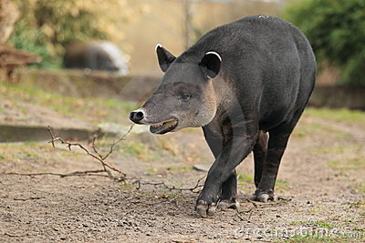 Baird s tapir