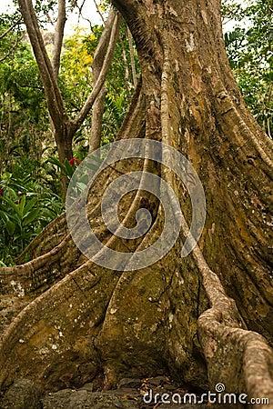 Baku - Fijian Banyan tree