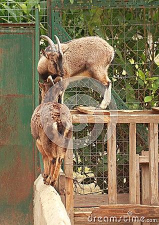 Balancierende Ziegen