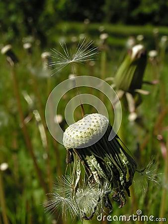 Balancing dandelion seed