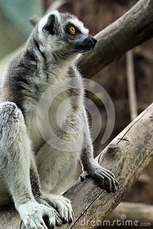 Balancing Lemur