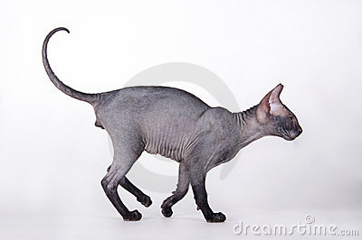 Bald cat