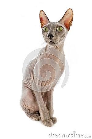 Bald cat Sphinx