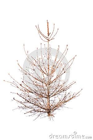 Bald christmas tree
