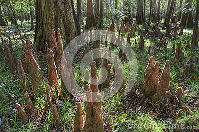 Bald Cypress Knees, Congaree National Park