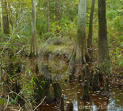 Bald cypress swamp in Big Thicket Preserve, Texas